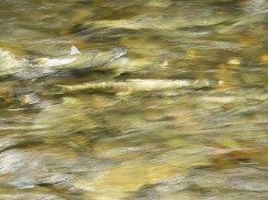 Salmon in Creek